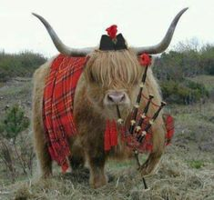 highland games-this one is funny. All Highland coos dress this way when the toorists are away hame. Scottish Highland Cow, Highland Cattle, Scottish Highlands, Highlands Scotland, Highland Games, Farm Animals, Animals And Pets, Cute Animals, Fluffy Cows