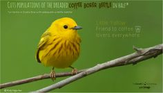 Yellow warblers secret life as the coffee bird
