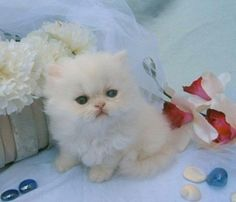Treasured Kittens offers the finest Teacup Kittens and Persian kittens for sale. We are reputable White Persian Kitten and Cat breeder. Teacup Persian Kittens, Teacup Kitten, Persian Kittens For Sale, Kitten For Sale, Small Kittens, White Kittens, Cats And Kittens, Funny Looking Animals, Kitten Quotes