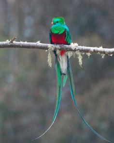 "Wildlife Planet (@wildlifeplanet) on Instagram: ""Photo by @birddetective One meter long Resplendent Quetzal - a bird from heaven. #WildlifePlanet"""
