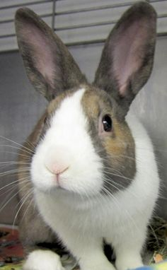 Hunter is an adoptable baby tan with white Dutch rabbit male at the Humane Society of Jefferson County in Jefferson, WI. Blaze and Hunter are a bonded pair and must be adopted together!