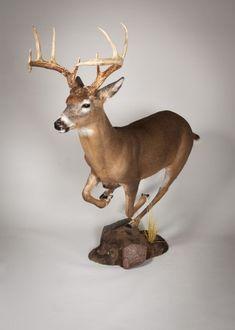 Whitetail Deer Running
