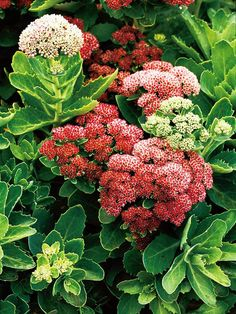 Pretty Sedum is an easy-to-grow perennial that turns brick red during the fall. Find 19 more beautiful perennials: http://www.bhg.com/gardening/flowers/perennials/top-perennials-for-your-garden/?socsrc=bhgpin071712sedum#page=19