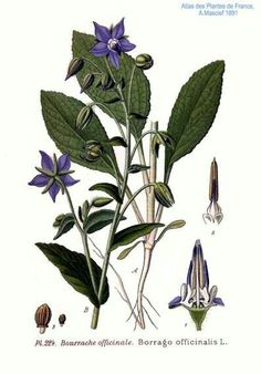borage - companion plant for strawberries, beneficial insects, can be very invasive but added to compost pile makes good mulch addition Botanical Drawings, Botanical Illustration, Botanical Prints, Beneficial Insects, Plant Drawing, Wild Edibles, Companion Planting, Urban Farming, Medicinal Herbs