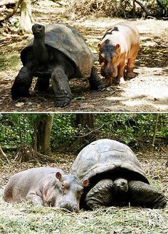 Meet Owen.  He lost his parents during the tsunami so he adopted himself to Mzee the 130 year old tortoise.