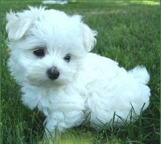bichon maltais More - Maltese Dog Care - Puppies Cute Little Puppies, Cute Little Animals, Cute Puppies, Baby Dogs, Pet Dogs, Pets, Doggies, Labrador Dogs, Dog Tumblr