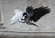 A black crow attacks one of the Pope's white doves
