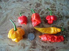 Counterclockwise from the left: Yellow 7 Pot, Trinidad Moruga Scorpion, Trinidad Scorpion Butch T, Red Trinidad Scorpion, Yellow Bhut Jolokia (Ghost Pepper), Bhut Jolokia (Ghost Pepper)