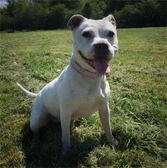 🐾🐶ⓡⓔⓗⓞⓜⓔⓓ🐶🐾Forest Dog Rescue - Lottie - SBT  (approx 4 years) Gorgeous girl ❤    #forestdogrescue #seconchancehome #rescuedog #rescuedogs #dogrescue #wyreforest #worcestershire #farforest #shropshire #bewdley #stourport #kidderminster #ludlow #bridgnorth #highley #bromsgrove #tenburywells #staffierescue #staffordshirebullterrier #staffie