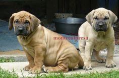 Presa Canario puppies for sale - Presa Canario | Montreal Presa ...