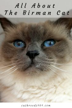 Birman History: The Birman originated in the temples of Burma. Legend links Birmans to a white cat named Sinh who lived in a temple dedicated to Tsun-Kyan-Kse, a golden goddess… Continue reading Majestic Animals, Animals Beautiful, Birman Cat, Cat Stands, Golden Goddess, Cat Names, White Cats, Cat Tattoo, Cat Breeds
