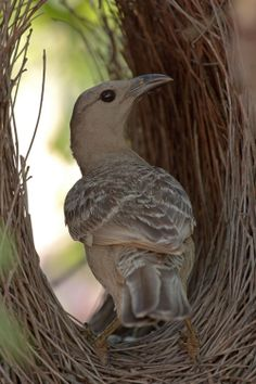 Great Bowerbird, largest of the bowerbird family. Common & conspicuous resident of northern Australia. (Chlamydera nuchalis)