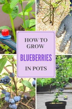 How To Grow Blueberries In Pots - Garden Care, Garden Design and Gardening Supplies Growing Blueberries, Growing Fruit Trees, Wild Blueberries, Growing Plants, How To Plant Blueberries, Blueberry Bush Care, Blueberry Tree, Container Plants, Gardening