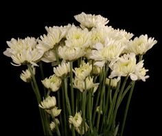 White cushion pom, 7 stems/bunch, $5/bunch, 71.4 cents/stem
