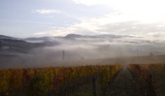 A foggy early morning in the vineyards