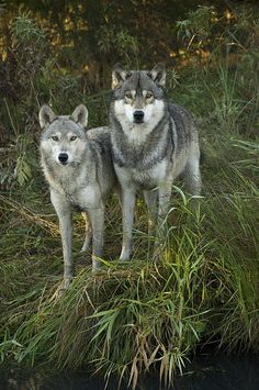 Timber Wolf   Canis Lupus Print By Carol Gregory