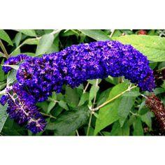 Buddleia davidii 'Adonis blue Adokeep'