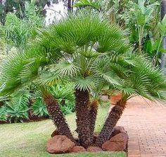 Palm Tree Types and Palm Tree Pictures from Sun Palm Trees Palm Trees Landscaping, Florida Landscaping, Tropical Landscaping, Landscaping Plants, Front Yard Landscaping, Tropical Plants, Landscaping Ideas, Landscaping Software, Exotic Plants