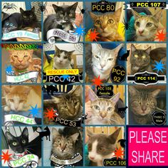 With the exception of HCC 19, these cats, ranging in age from 8 months to 8 years (the oldest being PCC 54), need a rescue or adoption ASAP. If you are a rescue or know a rescue that can help, please contact Hawkesbury Pound, NSW on (02) 4560 4644 (if no answer, leave a message) or email companionanimal@hawkesbury.nsw.gov.au —   Stars:   Red - female  Blue - male