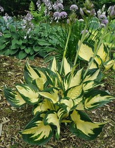 Hosta Prince of Darkness