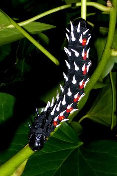 Bunaea alcinoe caterpillar Caterpillar Insect, Monarch Caterpillar, Cool Insects, Bugs And Insects, Insect Orders, Cool Bugs, Beautiful Bugs, Little Critter, Chenille