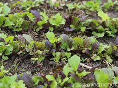 Edible garden in April 2016 - Mixed variety of mustard leaves.