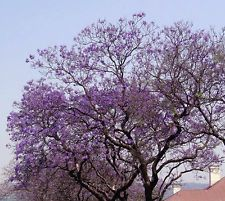 Royal Empress Paulownia Tomentosa 1000 seeds * Fastest Growing tree* CombSH