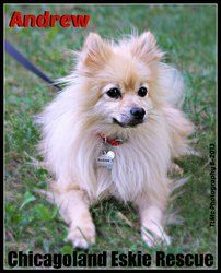 Andrew is the most adorable little Pomeranian who LOVES to cuddle!  Andrew is very cooperative and agreeable, not too noisy.  He is playful too, but snuggles rank over rough housing!  He gets along well with other dogs and cats too.  Andrew will use a crate, takes well to a gated room and is practically housebroken.  He rides very nicely in the car, and has no problems with taking little trips and visiting.  He is just a sweetie pie!