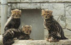 baby cheetahs | Flickr - Photo Sharing!