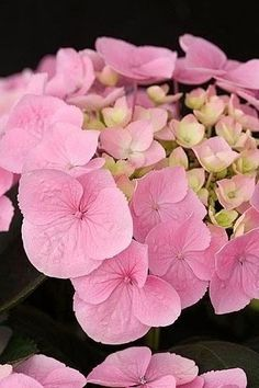 Hydrangea Beautiful gorgeous pretty flowers