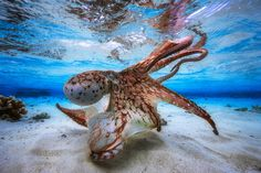 Underwater Photographer of the Year, 2017 - <i>Dancing Octopus</i>. In the lagoon of Mayotte, during spring low tides, there is very little water on the flats. Only 30 cm in fact. That's when I took this picture. I had to get as close as possible to the dome to create this effect. The 14 mm is an ultra wide angle lens with very good close focus which gives this effect of great size. The octopus appears larger, and the height of water also. Photographed off Mayotte Island on May 7, 2016.
