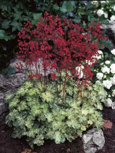 Heuchera Hercules. Another  wish list plant for flower beds by drive way!