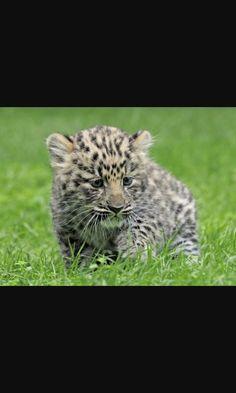 Cucciolo di ghepardo