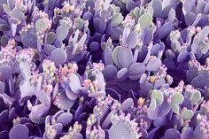 PURPLE Cactus