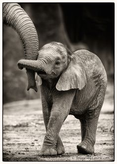 Baby Elephant Hug by Laurie Rubin, 500px: 6 week old baby elephant with her older brother. #Elephant