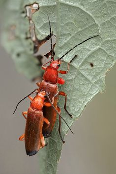 Two is company, three is a .... | A couple of Cantharis rufa… | Flickr