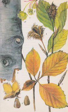 Beech (Fagus Grandifolia): External use: Beech leaf tea - frostbite, scalds, and burns. Beech bark tea - poison ivy / oak rash. Beech root tea - gangrenous ulcers.