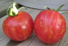 Semences Solana - Tomate Pink Vernissage - Pink Vernissage Tomato