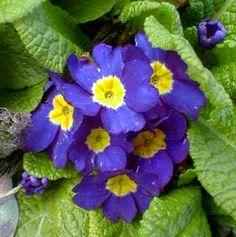 Primrose Primula Acaulis Parade Candy   blue english primrose the violet the primrose too beneath a sheltering ...