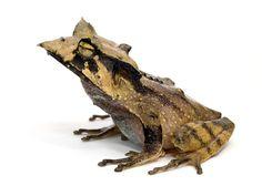 horned tree frog | Hemiphractus fasciatus (captive), Banded Horned Tree Frog, IUCN ...