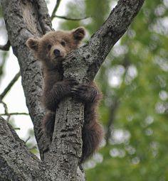 Endangered Earth: The Ugly New Kill Tally of 'Wildlife Services' Grizzly Bear Cub, Baby Bear Cub, Bear Cubs, Bears, Black Bear, Brown Bear, Cubs Tattoo, Love Bear, Animal Projects