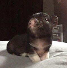 piggie, on bed.