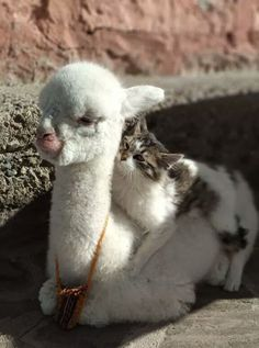 42 Llamas and Alpacas That Shouldn't Be This Cute - Cute Funny Animals, Cute Baby Animals, Animals And Pets, Cute Cats, Funny Cats, Cats Humor, Funny Horses, Cat Memes, Funny Cat Pictures