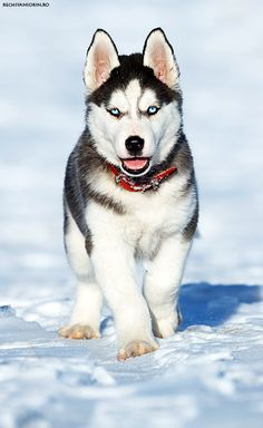 Husky Puppy on snow