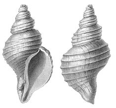 natural history shell drawings | ... : Kulindroplax: Incredible Ancient Creature Rewrites History