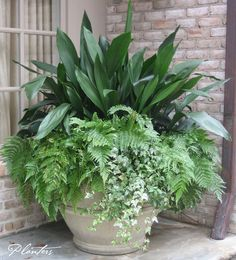 A permanent pot planting: cast iron, autumn ferns, and variegated ivy. A…