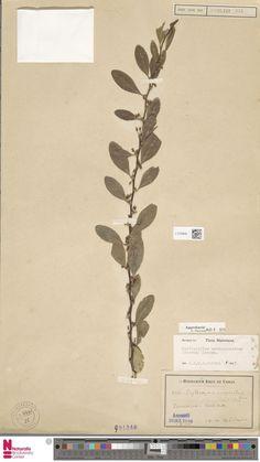 L.2120940 | Erythroxylum novogranatense (Morris) Hieron.