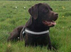Bruine labrador Gijs