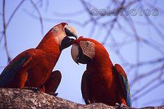 Pantanal - fotos de animais - arara-azul