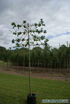 Leiplataan (Platanus hispanica)